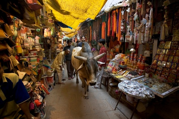 Holy Cow roaming freely in the Main market, Varanasi Benares Ind